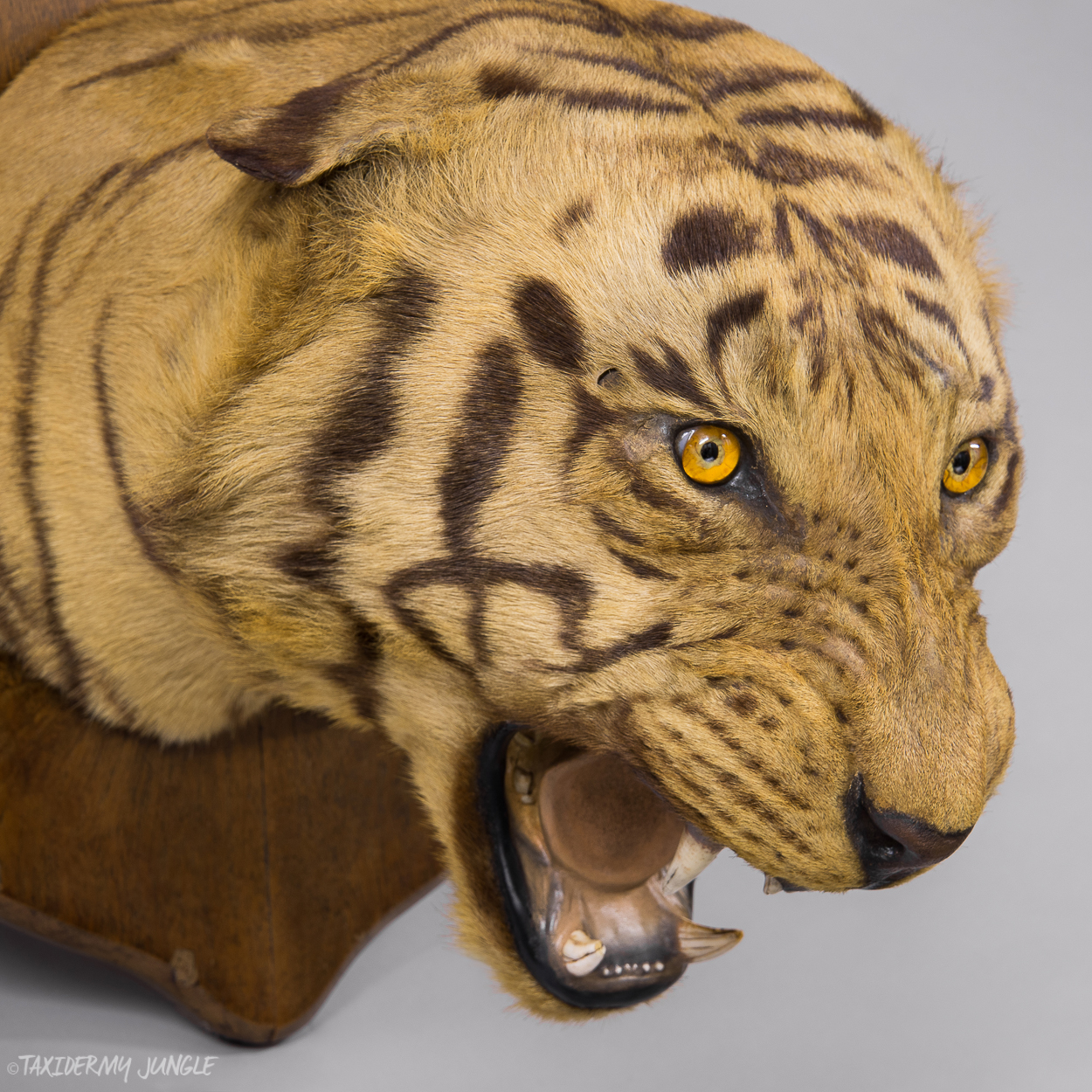 Taxidermy Tiger Head By Theobald Bros Taxidermy Jungle