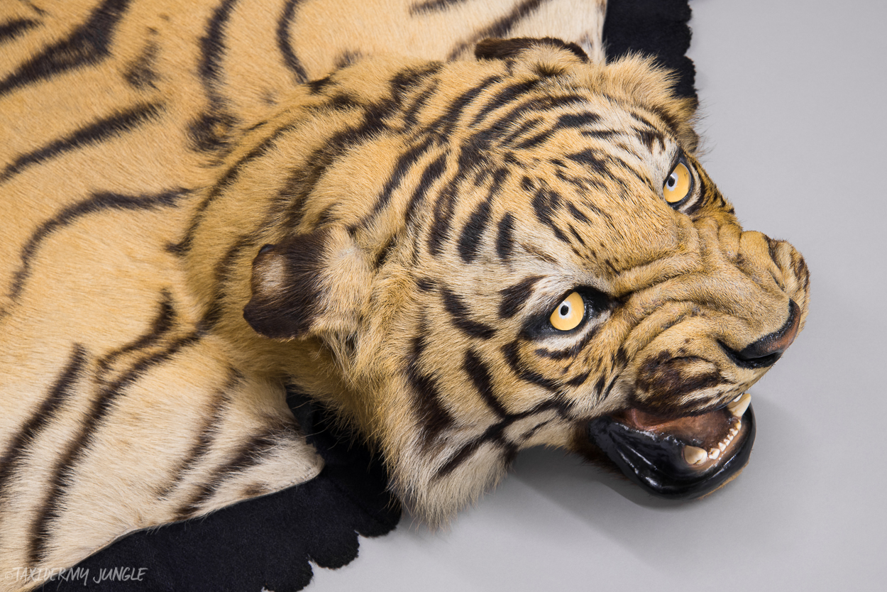 Taxidermy Tiger Skin By Van Ingen Taxidermy Jungle
